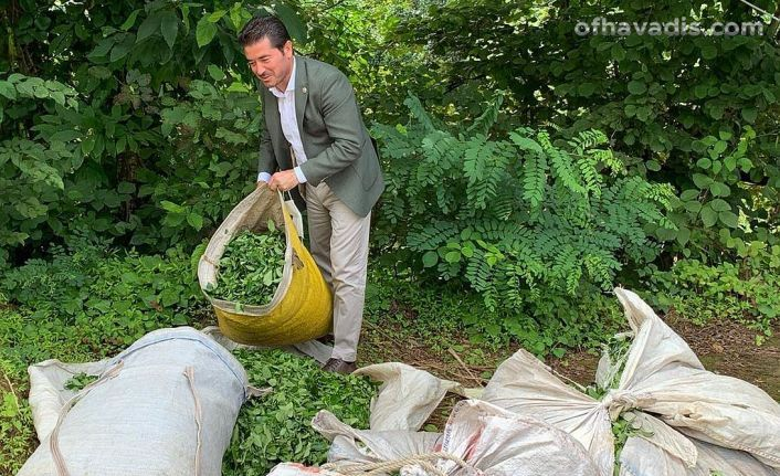 Çay üreticilerimizin derdi; kota, kontenjan ve sahipsizlik