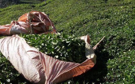4. sürgün çay, üreticinin yüzünü güldürüyor