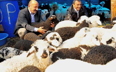 Of Kaymakamlığın dağıttığı koyunlar çifter çifter kuzuluyor