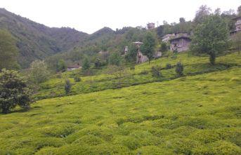Çay üreticileri bayramda sokağa çıkma yasağından muaf olacak