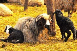 Kaymakamlığın dağıttığı koyunlar çifter çifter kuz