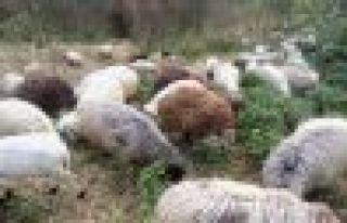 300 Koyun Projesi Başvuruları Başladı