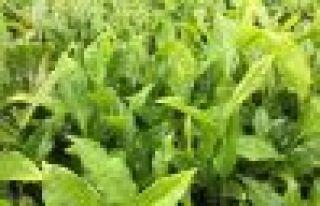 Yaş çay taban fiyatı 2,13 TL olarak açıklandı