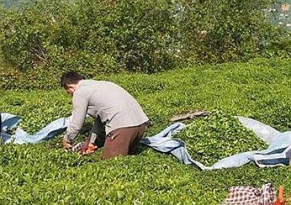 2017 yılı yaş çay hasadı başladı