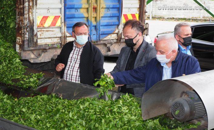Çaykur, tam kapasite yaş çay alımını sürdürüyor