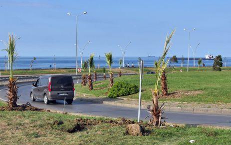Akasya yerine deniz suyundan etkilenmeyen palmiye
