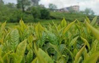 2021 yılı yaş çay alım fiyatı 4 TL oldu