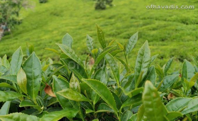 Yaş çay hasadı 17 Mayıs'ta başlayacak